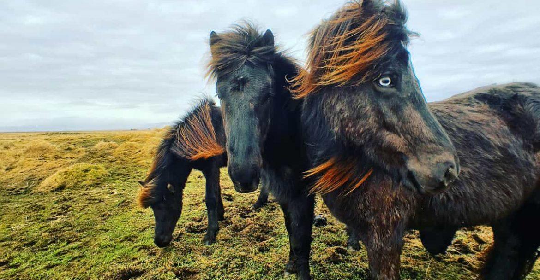 Photo-story-Icelandic-Horses